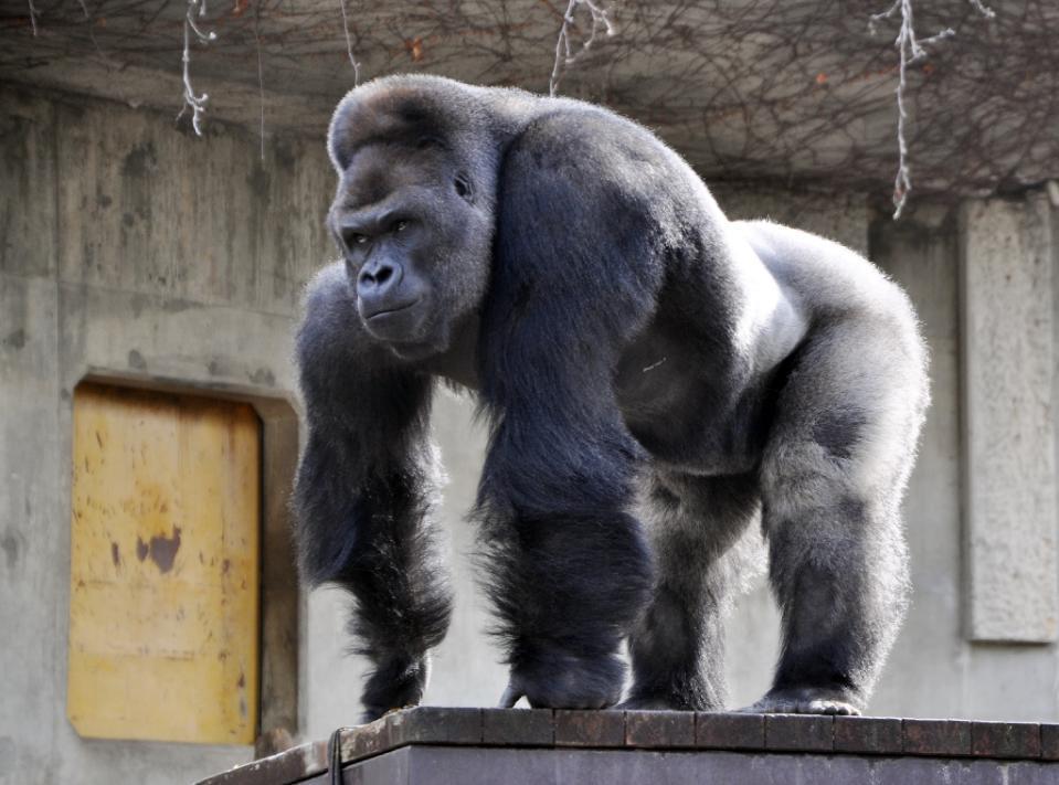 """妇女们涌向日本动物园看猩猩""""长相帅"""""""